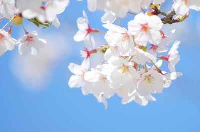 桜写真1.jpg